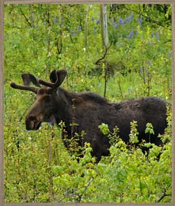 sideimage-moose